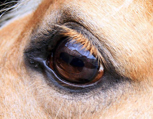 reflt du photographe dans l'oeil du cheval