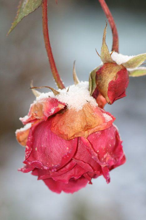 La rose des glaces
