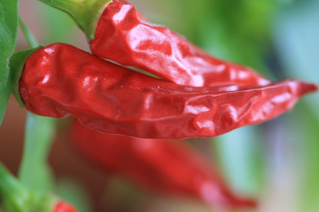 Red Hot Chili Peper