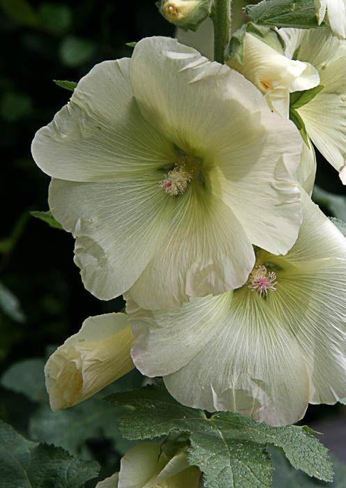 Rose Traimière