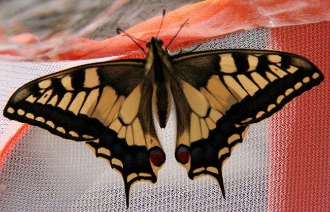 Papillon du fenouil