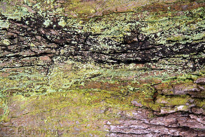 ecorce de l'arbre aux clous de dolhain,photoneur