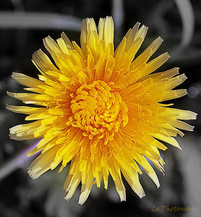 Pissenlit - Dandelion