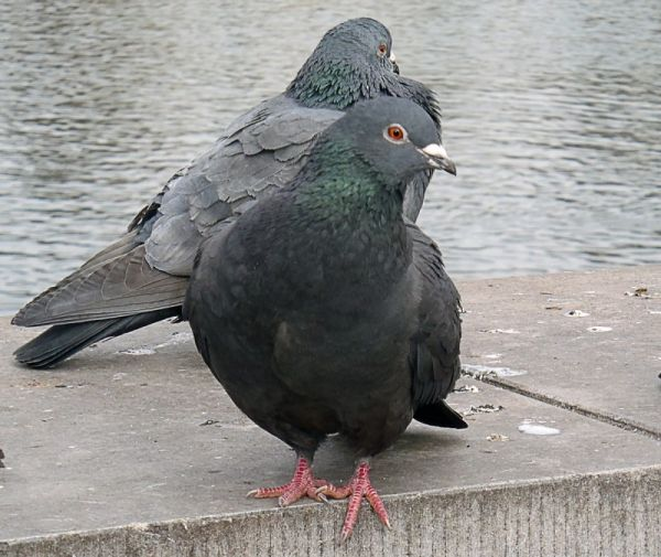 pigeon but not dupe