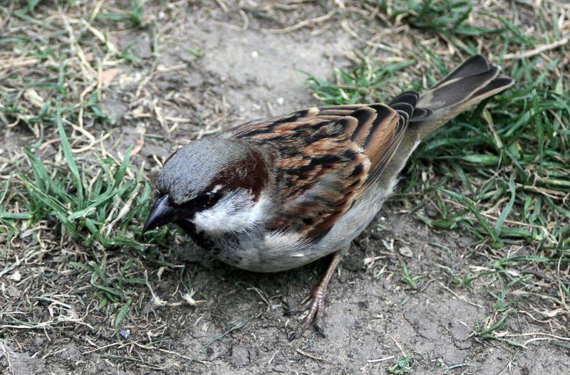 Le petit oiseau - The little sparrow