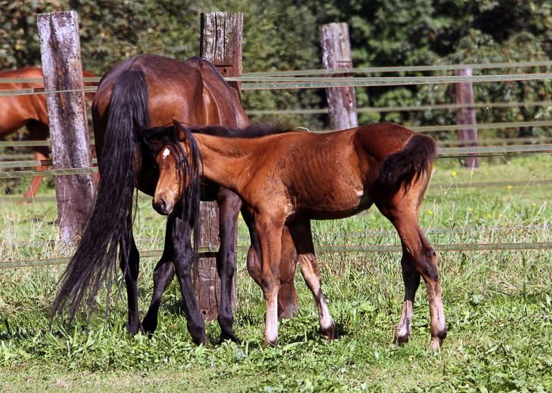 cheval, poulain