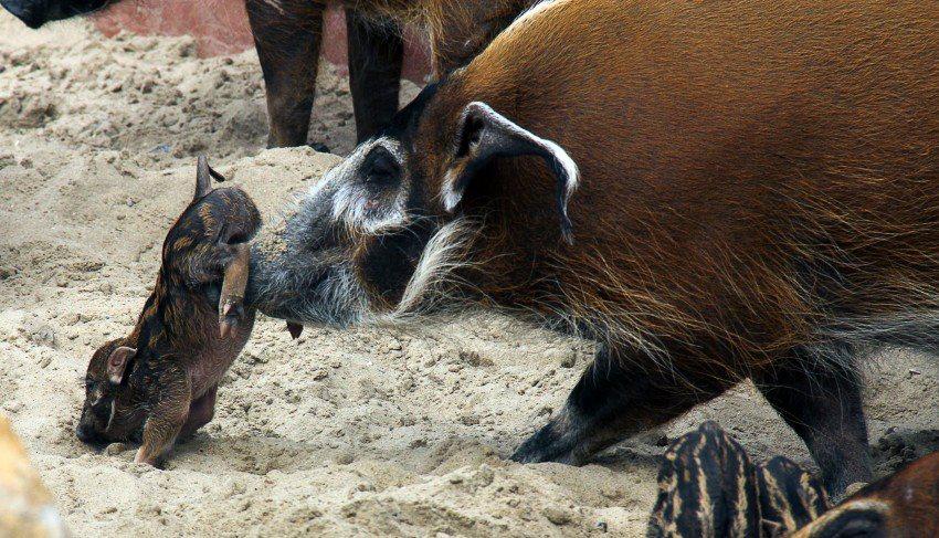 Cochon qui s'en dédit