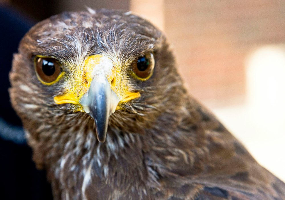 bird of prey - rapace