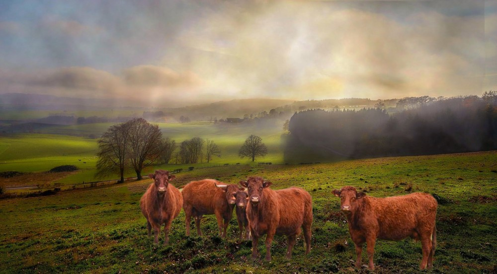 five cows in the morning mist
