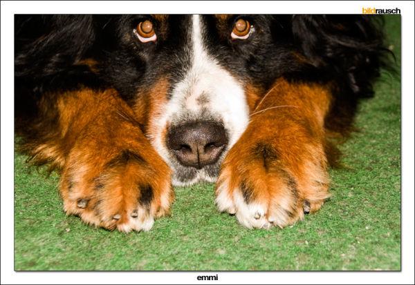 dog, berner sennenhund, brown, black, cute
