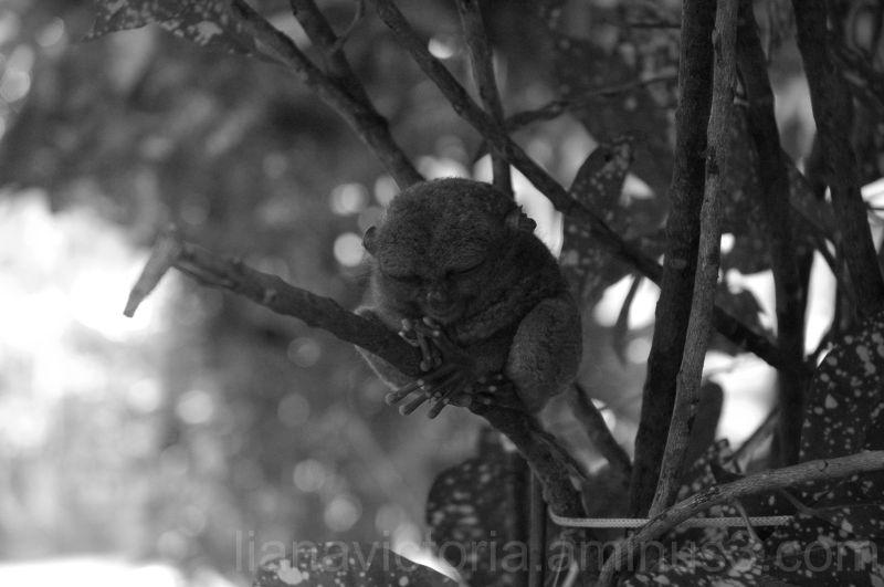 Tarsier monkey in the Philippines
