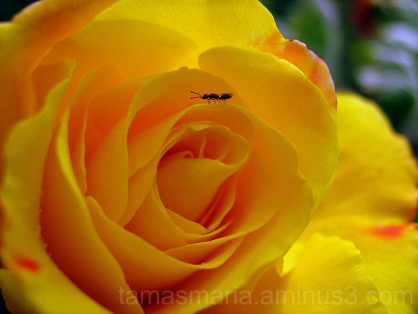 Yellow Rose with Ant