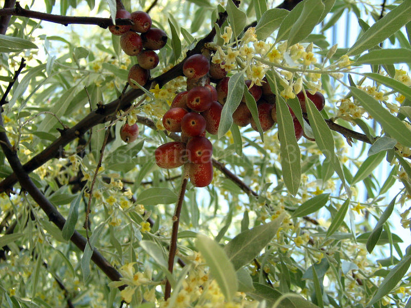 Russian olive tree  flowers and fruits
