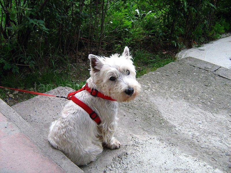 White Terrier on the sidewalk.
