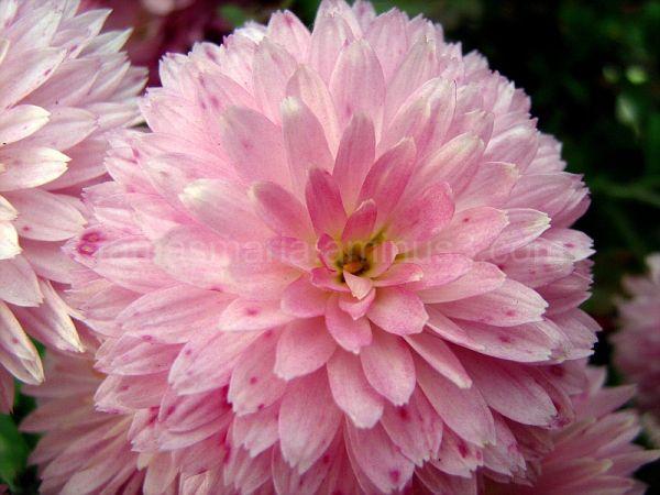 pink Chrysanthemums-macro photo