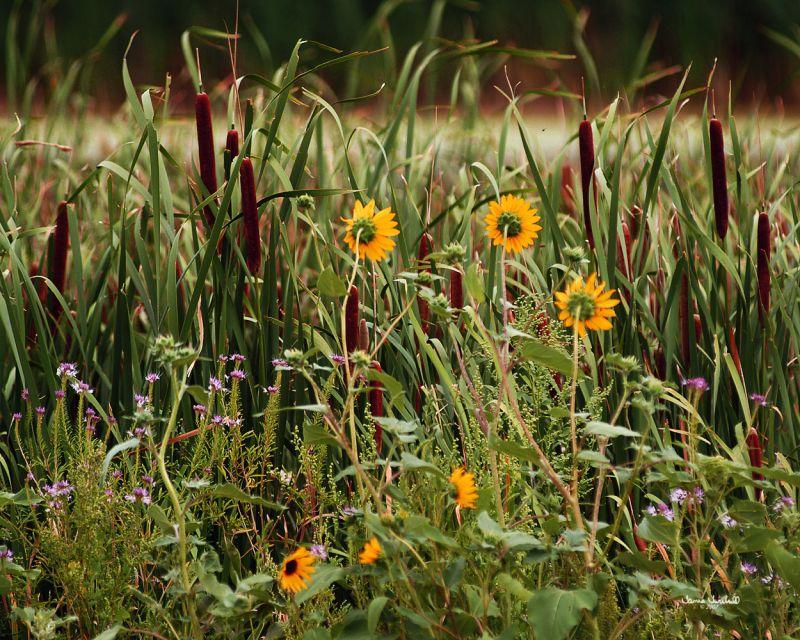 Wild flowers in Nebraska