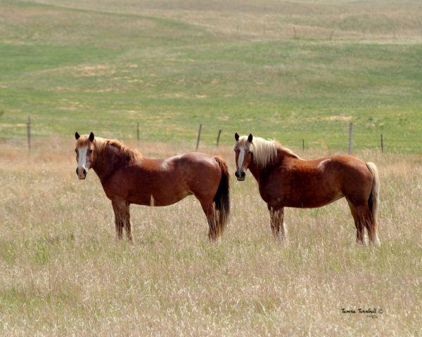Horses in western Nebraska