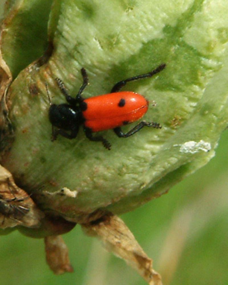 Bug on Soapweed