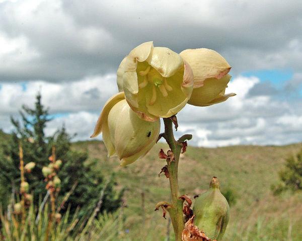 Soapweed near the Dismal River - Nebraska