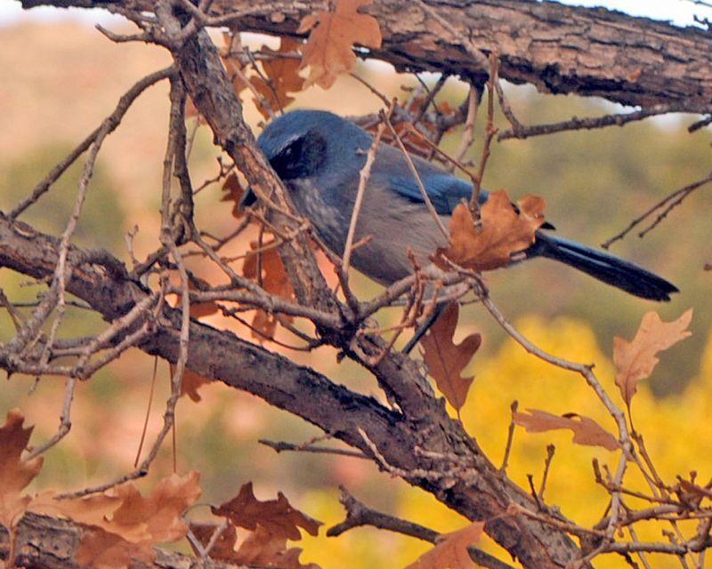 Scrub Jay in tree