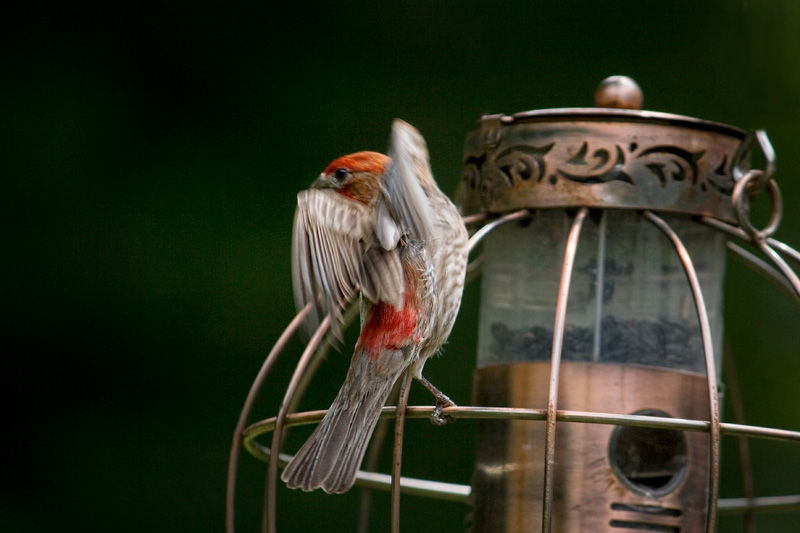 finch on feeder