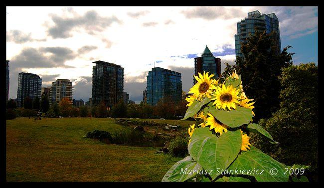 Canada - Vancouver, sunflower cityscape