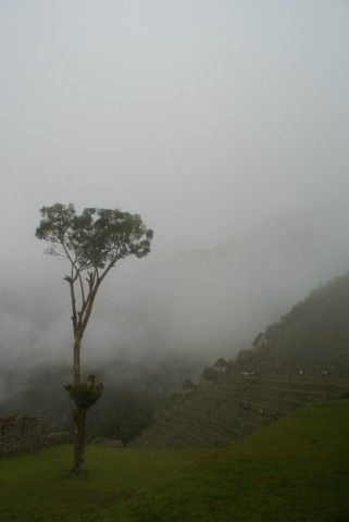 Arbol del Inca