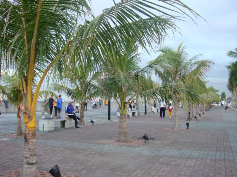 Mini Coconut Trees