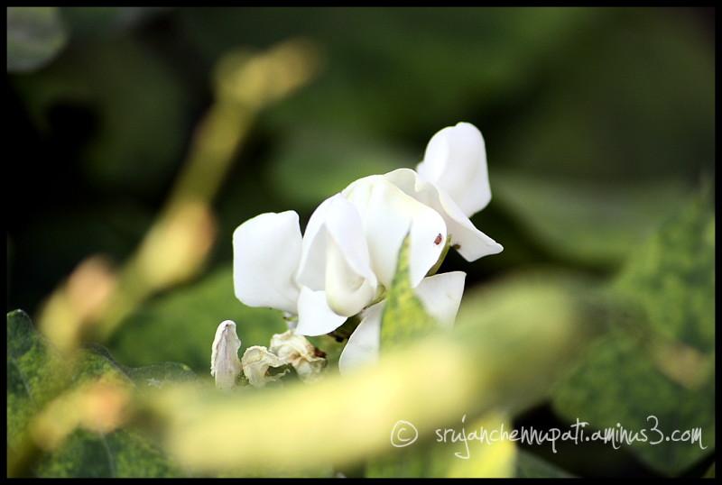 Pea Pod & Flower