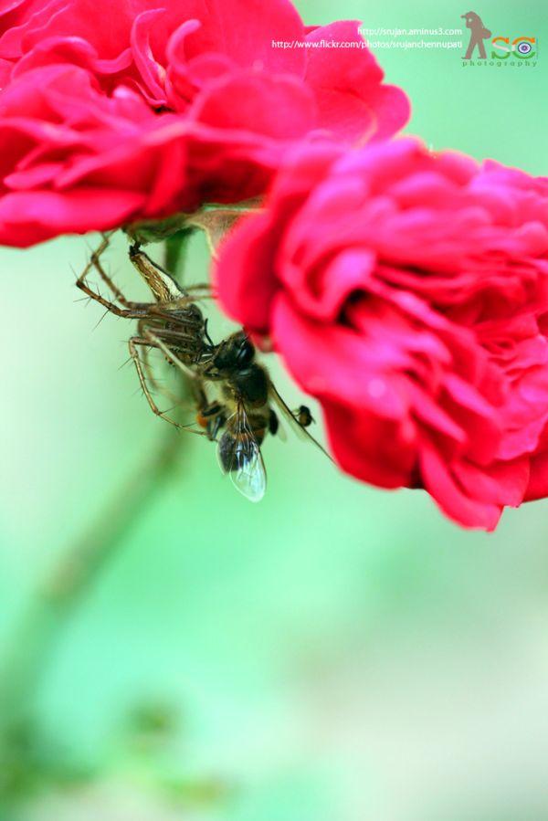 Spider - Bee