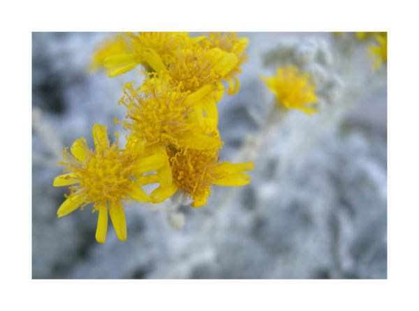 A closeup macro photo of a dusty miller photograph