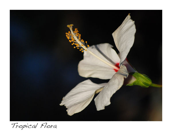 A picture of a hibiscus