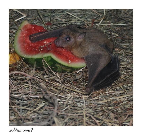A picture of a fruit bat