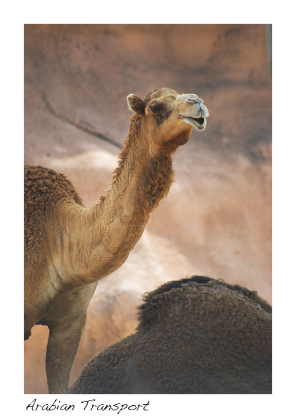 A picture of a camel at the zoo