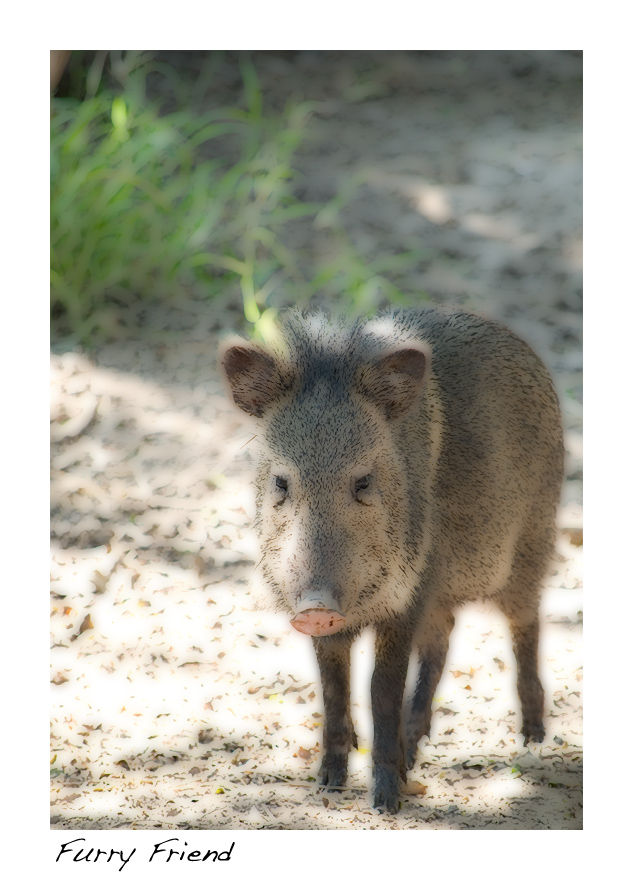 A picture of a Javelina
