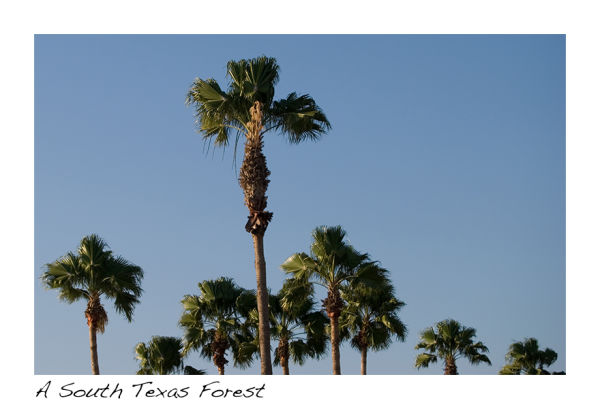 A picture of palm trees