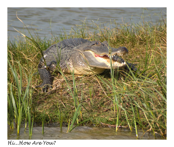 A picture of an alligator