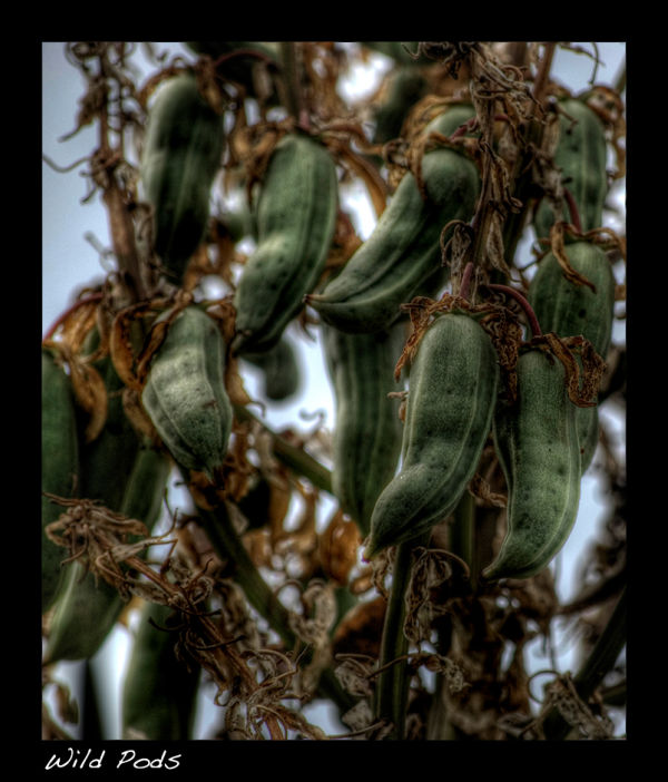 A picture of some wild seed pods