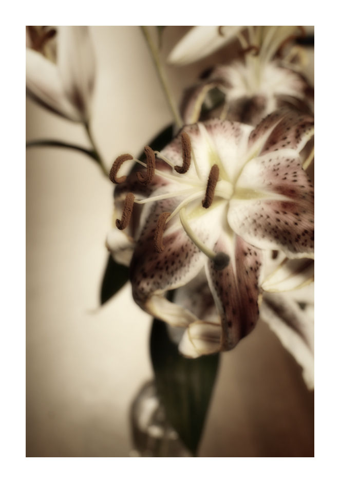 A duotoned picture of a lilly