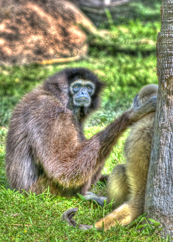 An HDR picture of a Zoo Monkey