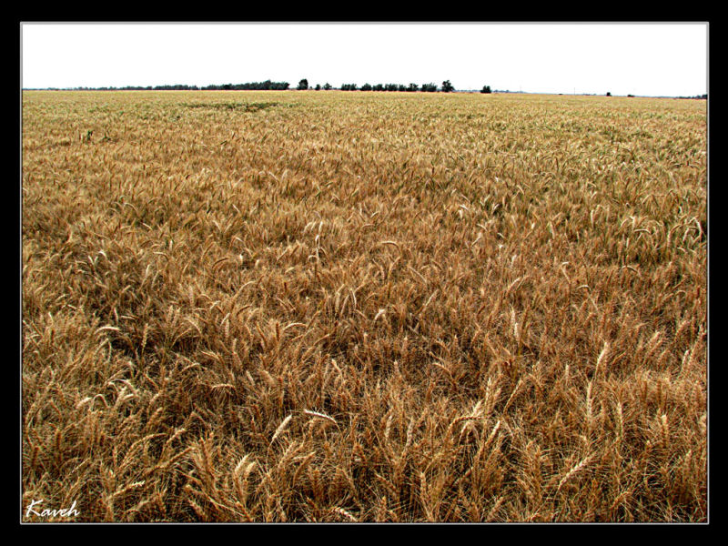 Wheat Land