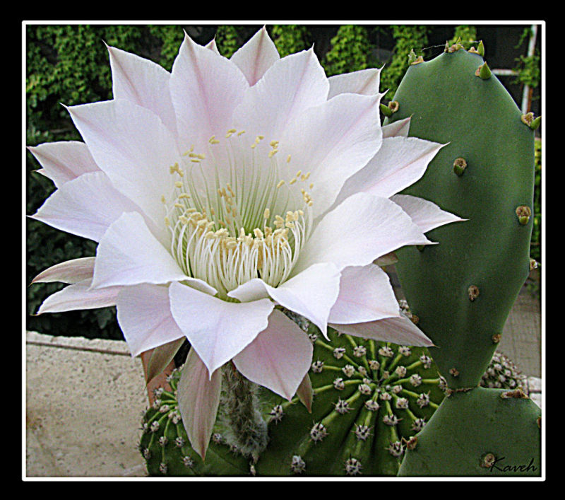 Cactus Flower III