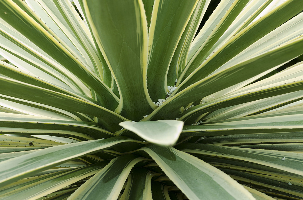 A Big Cactus