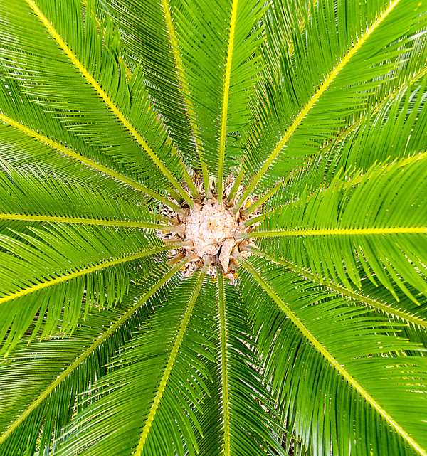 Center of a Cycas Revoluta