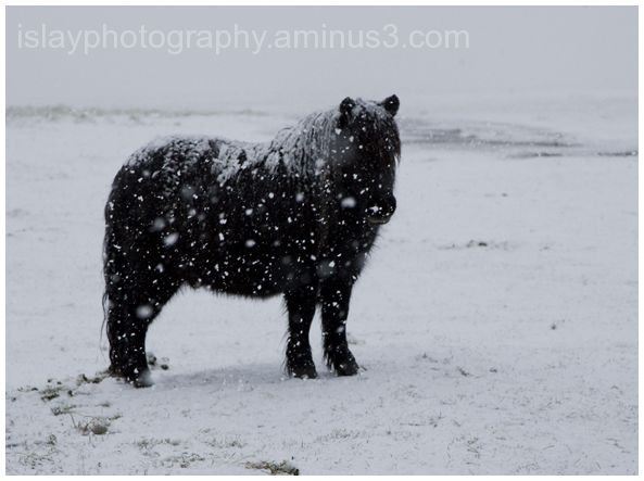 Shetland in the snow at Saligo