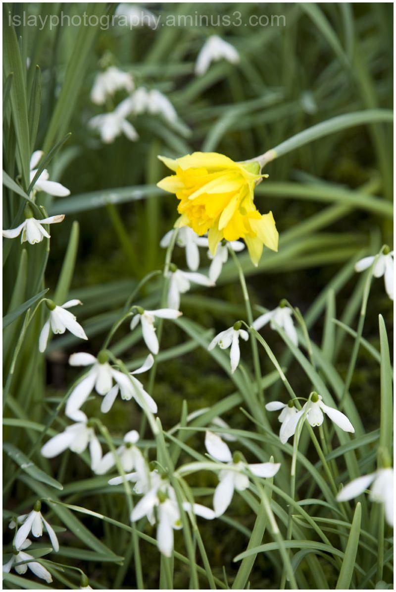 Daffodils & Snowdrops