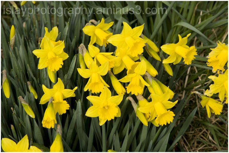 Roadside Daffodils 1