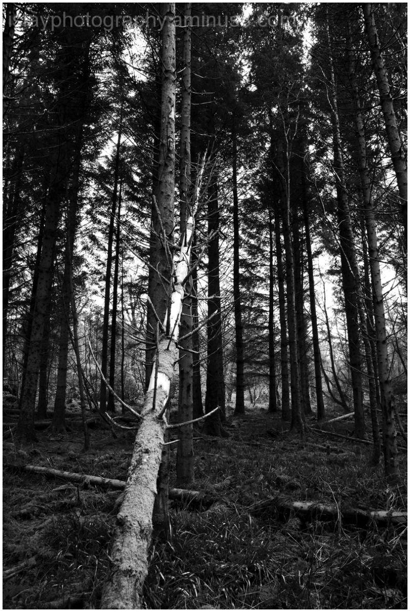 Fallen tree at Bridgend