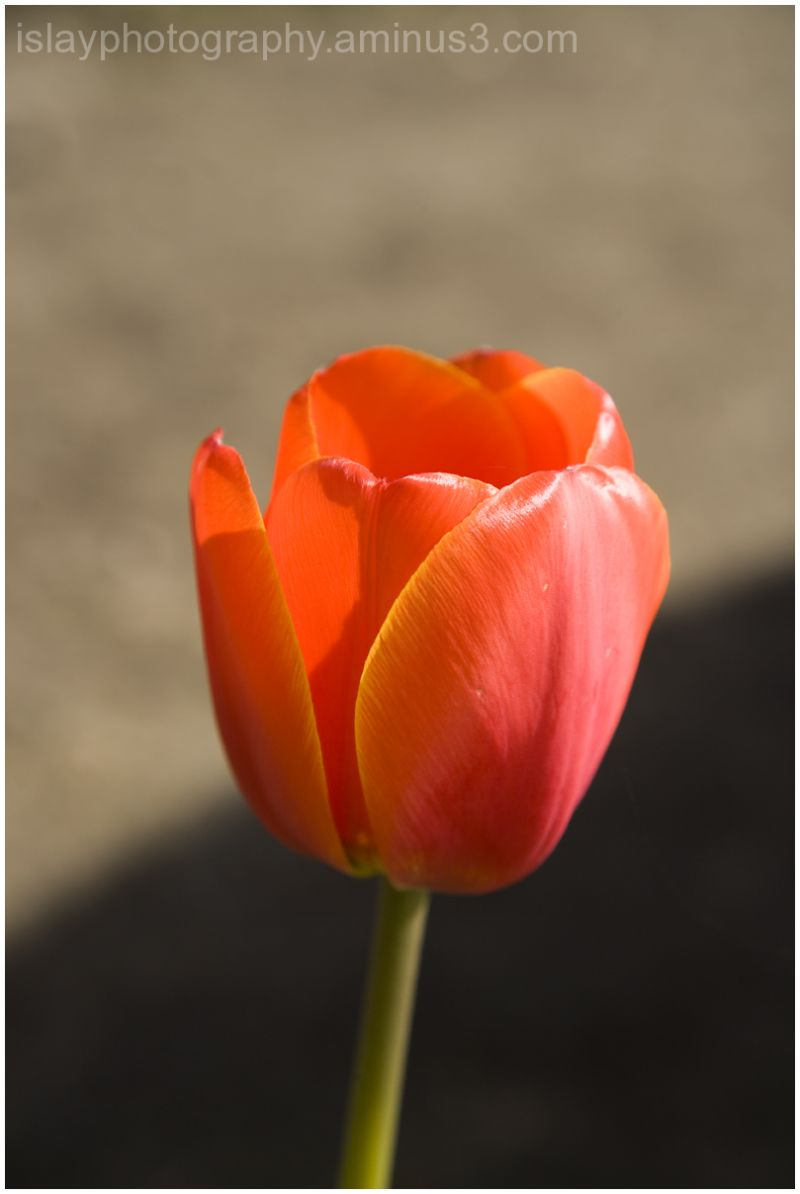 Tulip, Islay House Community garden