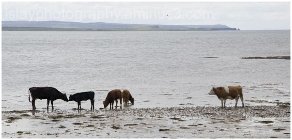 Cows at the waters edge